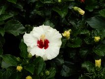 Hibiscus Fam; Malvaceae. Blooming colourfully and decorating Ho Chi Minh City, here in Vietnam Stock Photography
