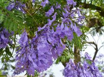 Blooming colours of the Jacaranda tree Stock Photos
