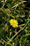 Blooming coltsfoot Royalty Free Stock Photography