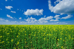 Blooming colzafield under blue sky with white clouds Stock Image