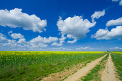 Blooming colzafield under blue sky with white clouds Royalty Free Stock Image