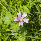 Blooming Common or high mallow, Malva sylvestris, flower in grass close-up, selective focus, shallow DOF.  Royalty Free Stock Images