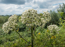 Blooming Common Hogweed Stock Image