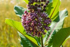 Blooming Common milkweed or butterfly flower close up, colorful and vivid plant, natural background.  royalty free stock image