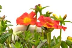 Blooming Common Purslane flowers Royalty Free Stock Photos