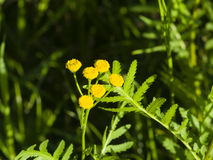 Blooming common tansy, tanacetum vulgare, golden buttons, macro, selective focus Stock Photography