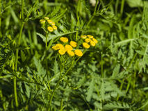 Blooming common tansy, tanacetum vulgare, golden buttons, macro, selective focus Royalty Free Stock Photos