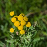 Blooming common tansy or tanacetum vulgare, golden buttons, macro, selective focus, shallow DOF Royalty Free Stock Photos