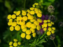 Blooming common tansy or tanacetum vulgare, golden buttons, macro, selective focus, shallow DOF.  stock images