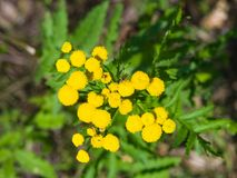 Blooming common tansy or tanacetum vulgare, golden buttons, macro, selective focus, shallow DOF Stock Photo