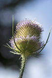Blooming common teasel Royalty Free Stock Photography