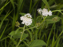 Blooming Common Yarrow, Achillea millefolium, with bokeh background macro, selective focus, shallow DOF Stock Photography