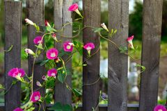 Blooming Convolvulus spread out across the wooden fence. Stock Photo