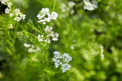 Blooming Coriander Chinese parsley or Coriandrum sativum, Cilantro, Coriander. Chinese parsley or Coriandrum sativum, Cilantro, Coriander. Beautiful cilantro royalty free stock photography