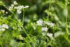 Blooming Coriander Chinese parsley or Coriandrum sativum, Cilantro, Coriander royalty free stock images