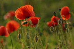 Blooming corn poppy Stock Image
