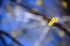Blooming cornel tree branch on blurred background Stock Photo