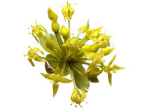 Blooming Cornelian Cherry Royalty Free Stock Image