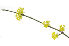 Blooming Cornelian Cherry Stock Image