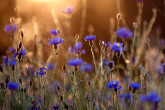 Blooming cornflower. Royalty Free Stock Photography