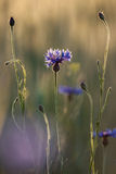 Blooming cornflower. Blooming cornflower with beautiful sunset Royalty Free Stock Photography