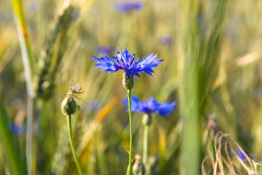 Blooming Cornflower. (Centaurea). Field weed Royalty Free Stock Photography