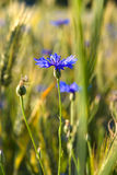 Blooming Cornflower Royalty Free Stock Photos