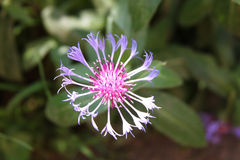 Blooming cornflower, top view on the background of green grass Stock Images