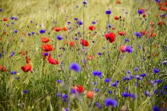 Blooming cornflowers and poppies in rye field Royalty Free Stock Photography