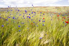 Blooming cornflowers and poppies in rye field Royalty Free Stock Images