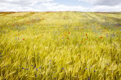 Blooming cornflowers and poppies in rye field Royalty Free Stock Image