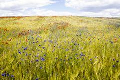 Blooming cornflowers and poppies in rye field Stock Photo
