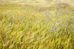 Blooming cornflowers and poppies in rye field Royalty Free Stock Photos
