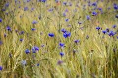Blooming cornflowers in rye field Stock Images
