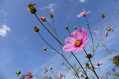 Blooming cosmos flower meadow with sky background Royalty Free Stock Image