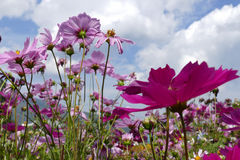 Blooming cosmos flower meadow with sky background Royalty Free Stock Photography