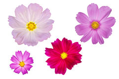 Blooming cosmos flowers isolated. On white background Stock Photography