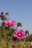 Blooming  cosmos spring Royalty Free Stock Photos