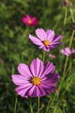 Blooming cosmos spring Royalty Free Stock Images