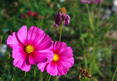 Blooming cosmos spring Stock Images