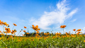 Blooming cosmos yellow flower in the bright sky. Royalty Free Stock Photos