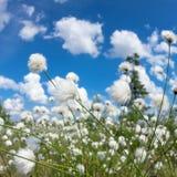 Blooming cotton grass. Summer bright landscape with blooming cotton grass Royalty Free Stock Images