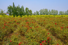 Blooming countryside in sunny summer Stock Photography