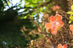 Blooming Couroupita guianensis or cannonball tree Royalty Free Stock Photo
