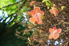 Blooming Couroupita guianensis or cannonball tree Stock Images
