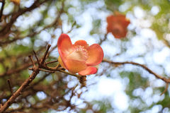 Blooming Couroupita guianensis or cannonball tree royalty free stock photos