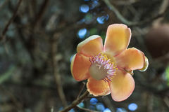 Blooming Couroupita guianensis or cannonball tree royalty free stock photography