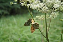 Blooming cow parsley with 2 butterflies in the forest stock photography