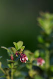 Blooming Cowberry  over nature green blurred background. Blooming Cowberry close up over nature green blurred background Stock Image