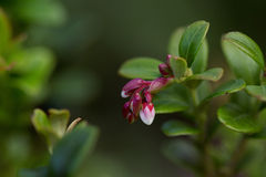 Blooming Cowberry  over nature green blurred background Royalty Free Stock Image